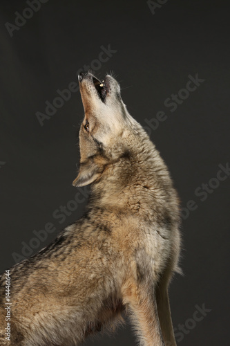 heulender wolf im portr t als freisteller kaufen sie dieses foto und finden sie hnliche. Black Bedroom Furniture Sets. Home Design Ideas