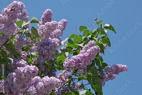 Foto op Canvas Lilac Lilas