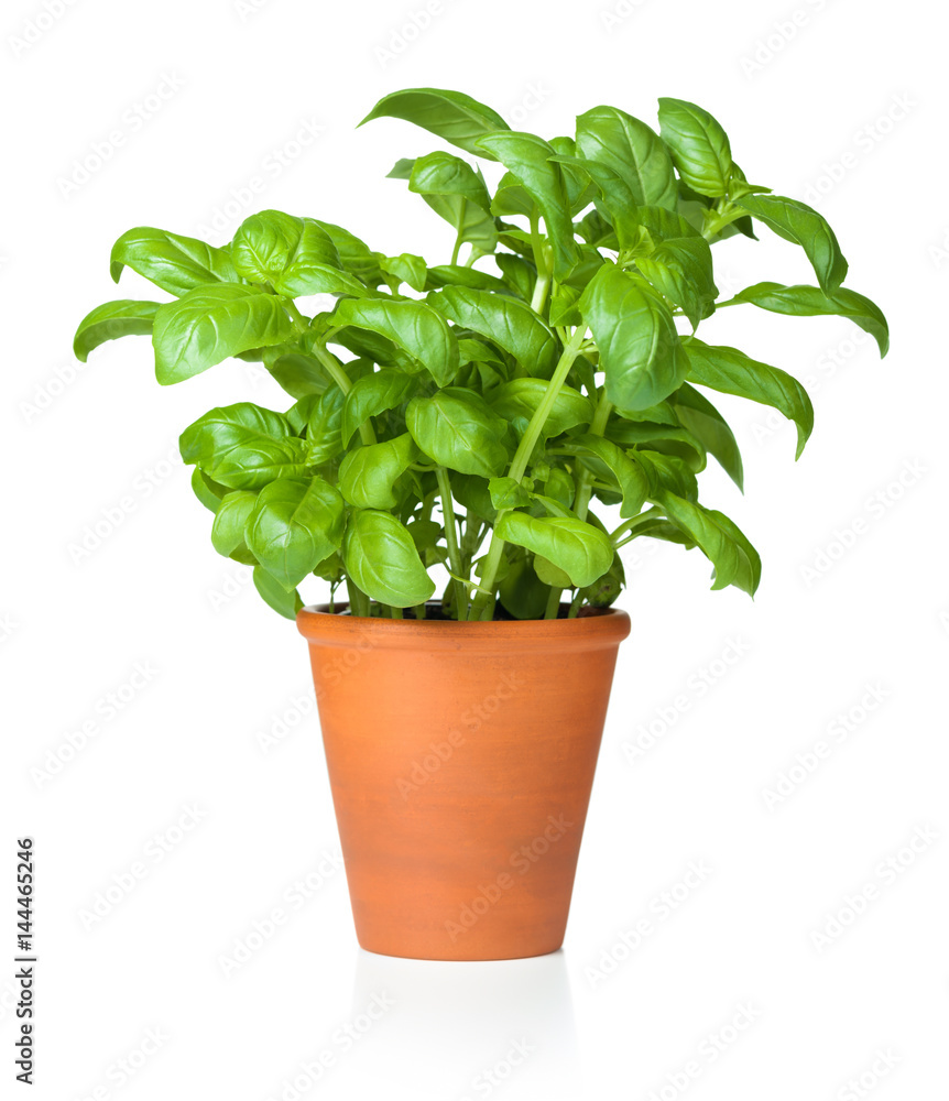 Fototapety, obrazy: Basil in Pot Isolated on White Background