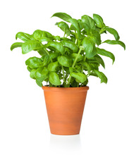 Basil In Pot Isolated On White Background