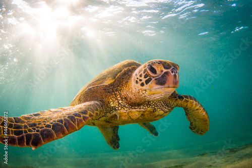 Poster Tortue Endangered Hawaiian Green Sea Turtle Cruising in the warm waters of the Pacific Ocean