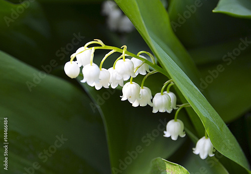 In de dag Lelietje van dalen Blossoming lily of the valley in spring forest. Lily-of-the-valley. Convallaria majalis.Spring background. Floral background.Selective focus.
