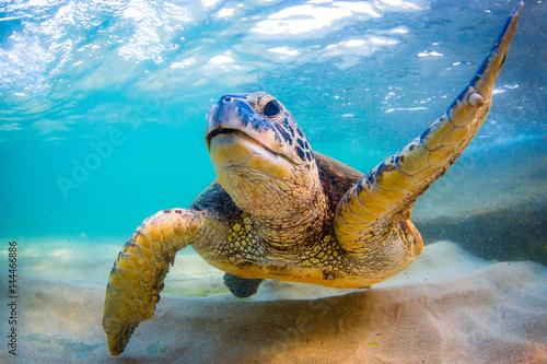 Pinturas sobre lienzo  Endangered Hawaiian Green Sea Turtle Cruising in the warm waters of the Pacific