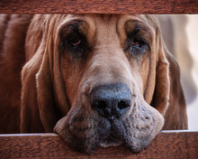Hound Dog With Droopy Face