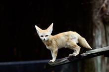 Cute Fennec Fox Cubs