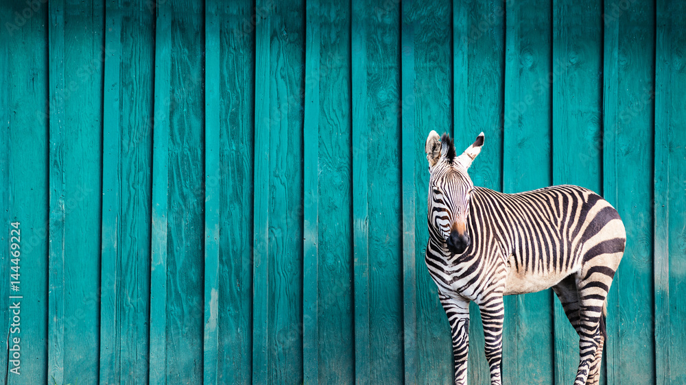 Fototapety, obrazy: Zebra in Front of a Teal Wall