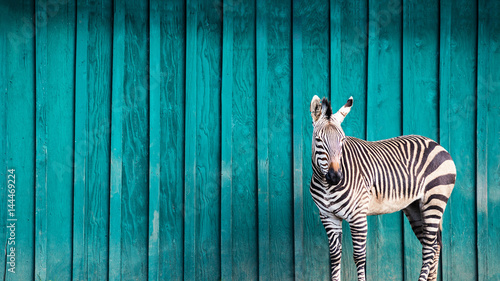 Foto op Aluminium Zebra Zebra in Front of a Teal Wall