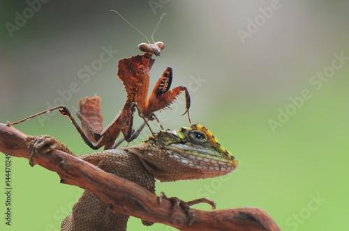 Fotografie, Obraz  Lizard and mantis