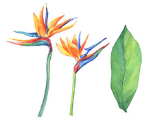 Set Of Ropical Flower Strelitz...