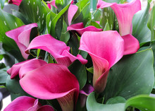 Pink Calla Lilies Grouped Together.