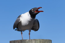 Laughing Gull Cawing, Clearwat...