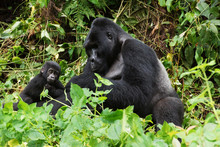 Silverback With A Young Gorilla In A Rainforest