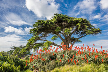 Beautiful Colorful Landscape In Western Cape Province Of South Africa: Blooming Red Aloe Vera Under The Tree.
