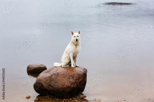 White Swiss shepherd dog on the stone in the lake Fototapet