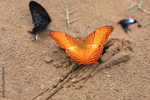 Fotografie, Obraz  Vindula Erota-Common Cruiser butterfly