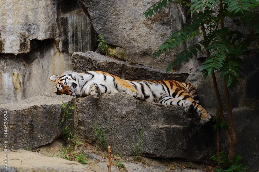 Tiger/Wildkatze Foto, Poster, Wandbilder bei EuroPosters