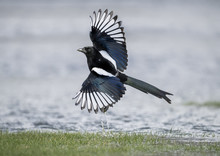 Magpie Flying From A Puddle Of...