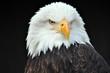 Leinwandbild Motiv Weißkopfseeadler