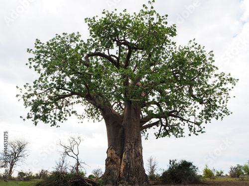 Baobab tree in full height with white cloud background
