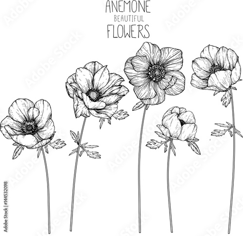 Anemone flowers drawing illustration vector and clip-art. Fototapete