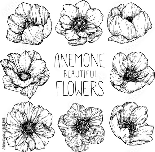 Anemone flowers drawing vector illustration and line art. Canvas Print