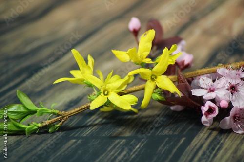 Fotografie, Obraz  PRUNUS CERASIFERA,PISSARDII NIGRA,cherry plum,myrobalan plum and golden forsythi