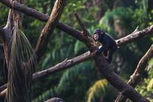 Infant Chimpanzee Playing