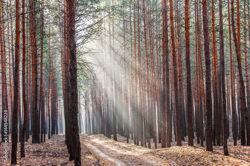 Tuinposter Weg in bos fabulous pine forest in daylight, the road through the forest