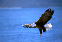 Bald Eagle Flying Low Over Ocean Water, Hunting