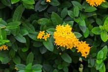 Ixora Flower Yellow  Beautiful...