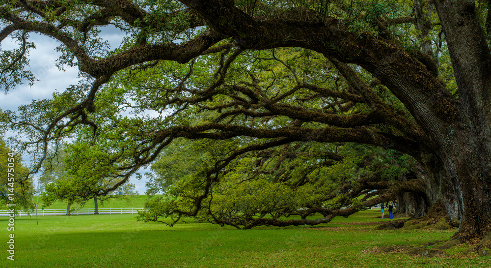 hanging live oaks, oak alley, louisiana