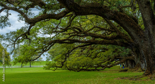 hanging live oaks, oak alley, louisiana