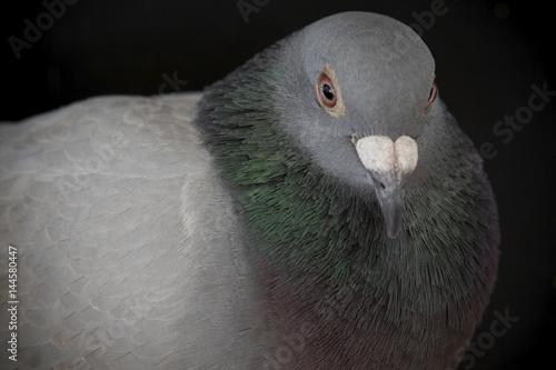 close up beautiful eyes of speed racing pigeon bird - Buy