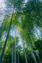 Dense Bamboo Forest And Rainfo...