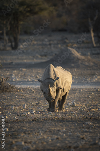 Rhino coming in to a water hole.