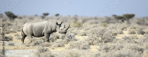 Tuinposter Neushoorn Black Rhino walking through the veldt