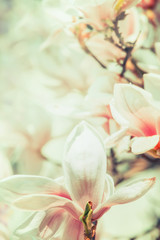 Obraz Close up of Magnolia flowers at blurred tree blossom, springtime nature, floral border, pastel color, floral border
