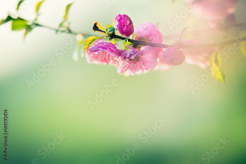 Lovely pink almond blossom at green nature background with sunlight and bokeh, s Canvas Print