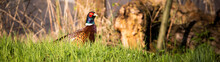 Single Male Pheasant Sits In T...