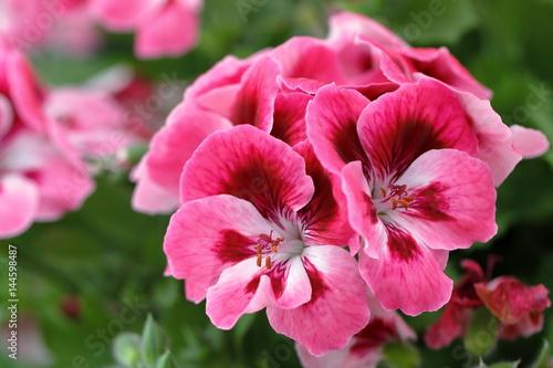 Fotomural geranium