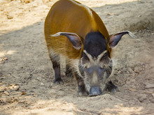 Image Of Red River Hog On The ...