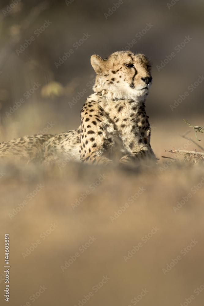 Cheetah in the golden morning light.