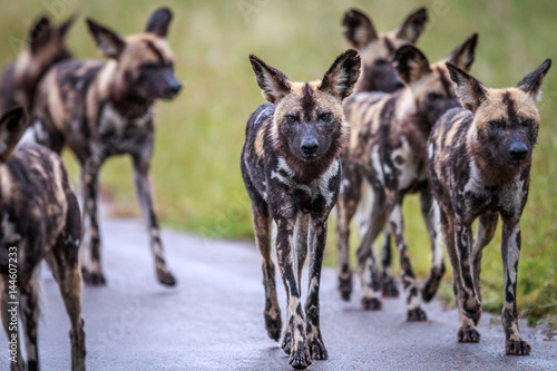 Photo  African wild dogs walking towards the camera.