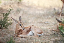 Baby Springbok Laying In The Grass.