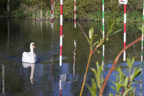 Fotografía  Mute Swan (Cygnus Olor) Going Through Gate On Canoe Slalom Pond