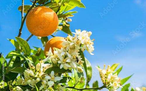 Vászonkép Orange tree with fresh fruits and blossoms