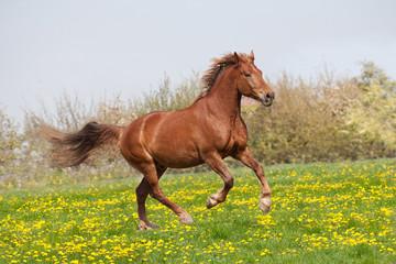Nice big horse running