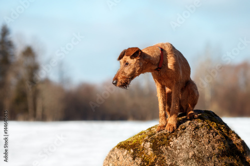 The Irish Terrier sits on a rock in a forest
