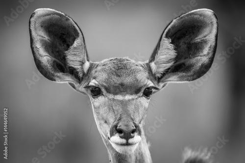 Poster Antilope Starring female Kudu in black and white.