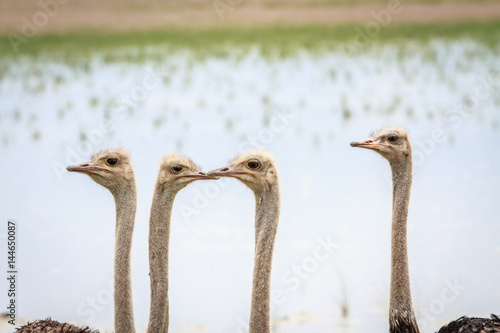 Staande foto Struisvogel Close up of a group of Ostriches.